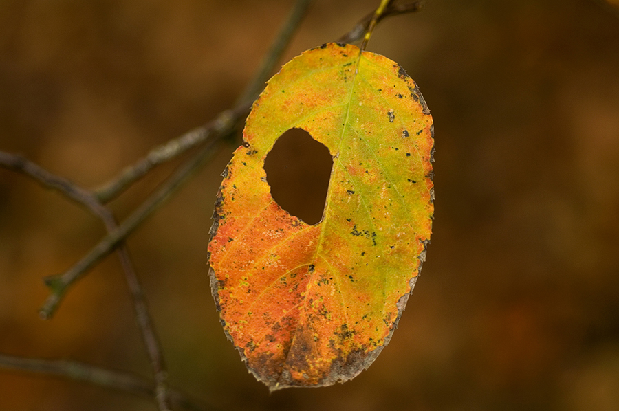 Autumn leaf with a hole in it
